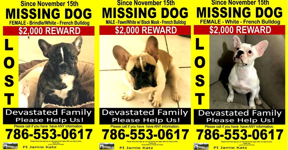 Lost white french bulldog